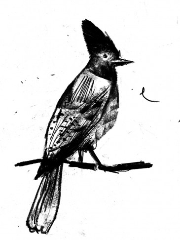 Stellar Jay || illustrated by Brandon Cotter